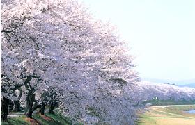 足羽川の桜並木